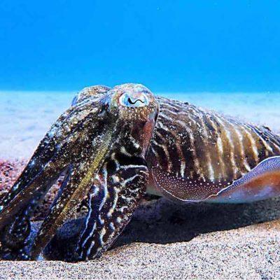 Cuttlefish PADI Dive Course Lanzarote | Manta Diving