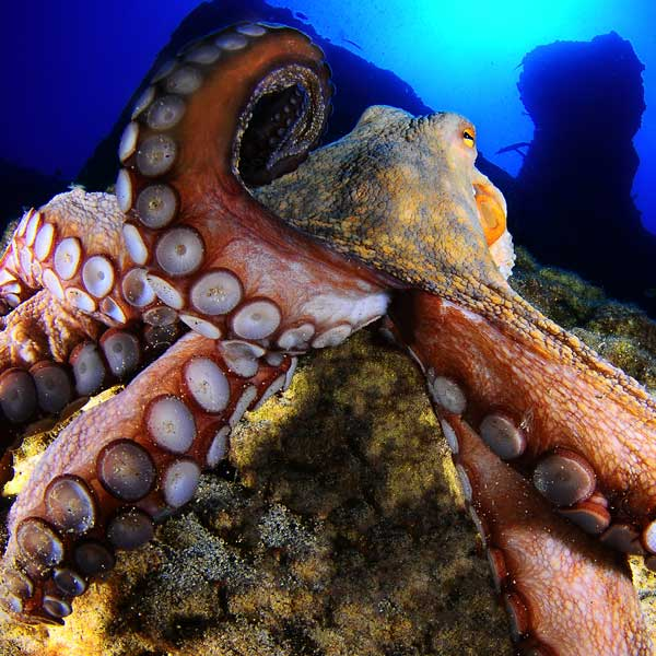 Octopus | Open Water | PADI Dive Centre Lanzarote