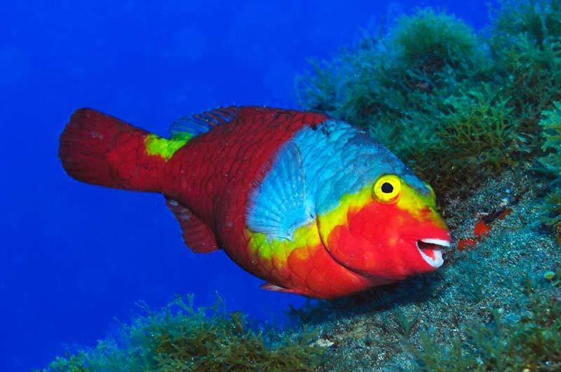 Parrotfish | PADI Scuba Diver Course Lanzarote | Manta Diving Lanzarote