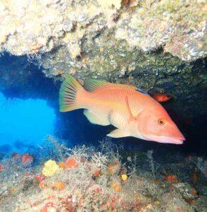 Dive Lanzarote - Hogfish - Manta Diving Lanzarote