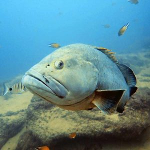 Dive Lanzarote | photo editing | Grouper