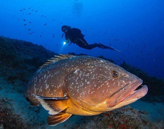 Grouper | Marine life you can see while you dive in Lanzarote